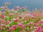 Ngắm hoa tam giác mạch trên phố đi bộ Hà Nội