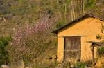 Hoa đào Y Tý nở rộ quyến rũ du khách đường xa