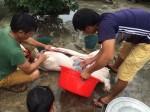 Thịt lợn giá thấp khủng hoảng, người nuôi thả rông, dân đua nhau đánh đụng