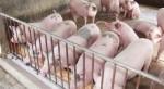 Chuỗi sản xuất đơn lẻ: Tử huyệt của người chăn nuôi heo