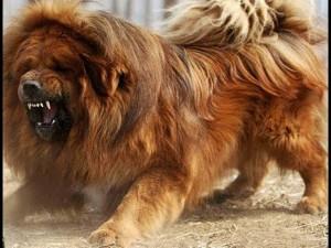 Kinh hoàng: Chó ngao Tây Tạng ăn không đủ no, lao vào