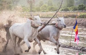 Lễ hội đua bò truyền thống sôi động ở chùa Rô