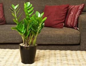 Trồng cây này trong phòng khách tiền sẽ ùn ùn kéo và nhà, gia đình luôn khỏe mạnh