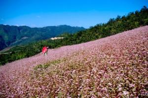 6 cánh đồng hoa đẹp nhất Việt Nam bạn nên đến 1 lần trong đời