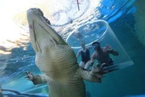 Bơi cùng cá sấu trong Lồng tử thần