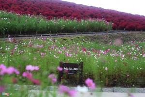 Đồi cỏ đỏ rực vào thu ở Nhật Bản