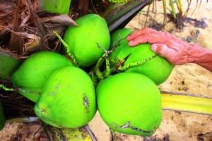 8.000 đồng/ trái, dừa xiêm lùn da xanh