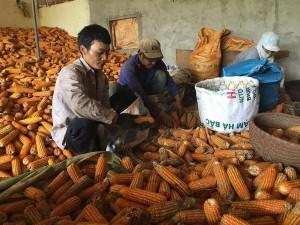 Sơn La gặp mùa ngô 'đắng', dân nghèo bán rẻ ngô giá 1.000 đồng/ kg làm phân bón