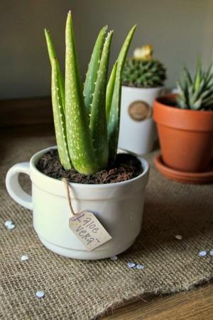 Chỉ 5 phút trồng xong 1 cây nha đam, không cần chăm nhưng lợi ích nhiều đến không ngờ
