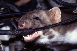 Hãng xe Toyota bị kiện vì...chuột