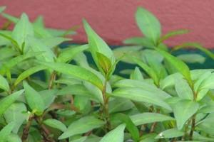 Vì sao nhà bạn dù chật hẹp cũng nên trồng cây rau răm?