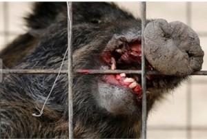 Kinh hoàng lợn rừng nhiễm phóng xạ tấn công người man rợ