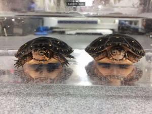 Chụp ảnh hai con rùa đen đăng lên mạng, mọi người phát hiện điều thú vị đằng sau