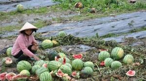 Tiết lộ lý do thương lái Trung Quốc không mua dưa hấu Việt Nam