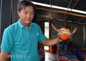 Cà Mau: Thương lái Trung Quốc- Hàn Quốc tranh nhau mua cua Năm Căn
