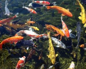 SỐC: 200 triệu đồng một con cá chép Nhật
