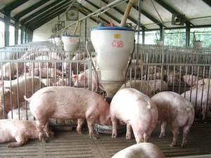 Thương lái buôn thịt lợn 'ăn dày', người chăn nuôi và tiêu dùng chịu thiệt
