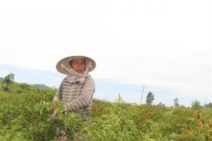 Ớt rớt giá thê thảm còn 2.000đ/kg, nông dân bỏ ruộng