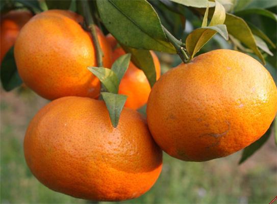 Người trồng cam chia sẻ cách phân biệt cam canh Việt Nam và cam Trung Quốc độc hại
