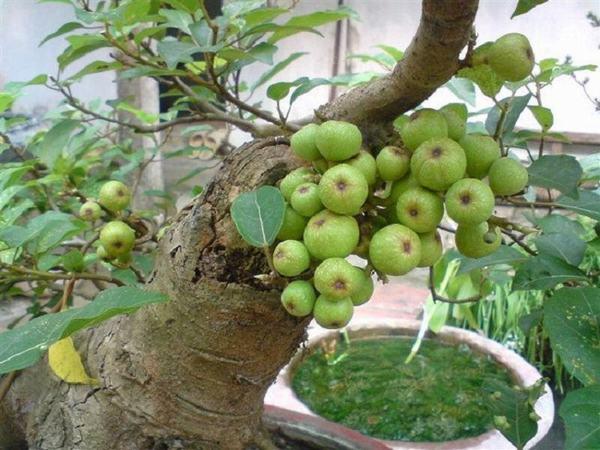 13 loại cây mang lộc về nhà nhiều nhất trong tết Đinh Dậu 2017