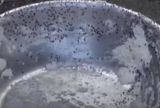 Nui đầy ruồi nhặng, heo sữa bốc mùi bị phanh phui ở Quảng Ngãi