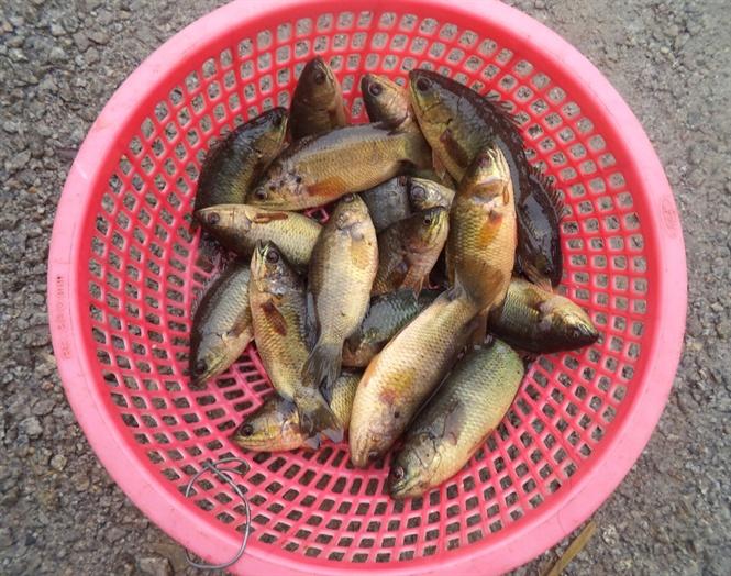 Cảnh báo cá nuôi bị làm