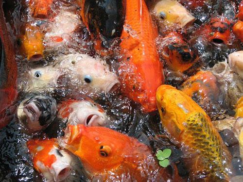 Cách bài trí bể cá trong nhà hợp phong thủy hút tài lộc