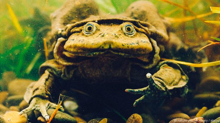Kinh hoàng sinh tố ếch tươi giúp quý ông mãnh liệt trong