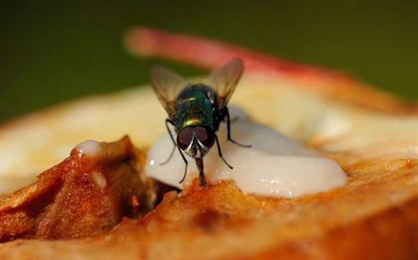Những gì xảy ra khi ruồi đậu vào thức ăn