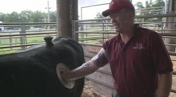 Thực hư về những cái lỗ to được khét trên bụng con bò sữa đang gây phẫn nộ