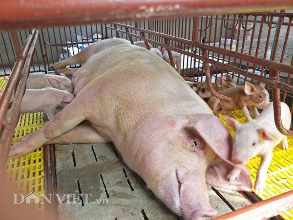 Giá lợn hôm nay 17.7: Lợn hơi vượt 45.000 đ/kg, lợn giống 1 triệu/con