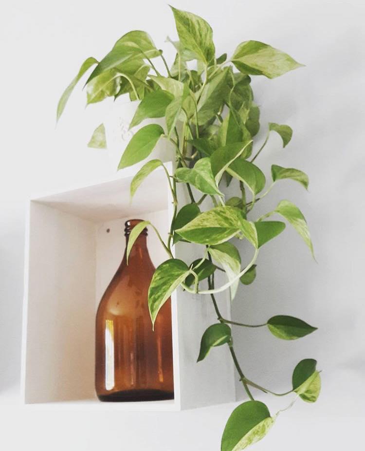 Loại cây cảnh mang ý nghĩa may mắn lại hút độc cực tốt khiến bạn muốn trồng ngay lập tức