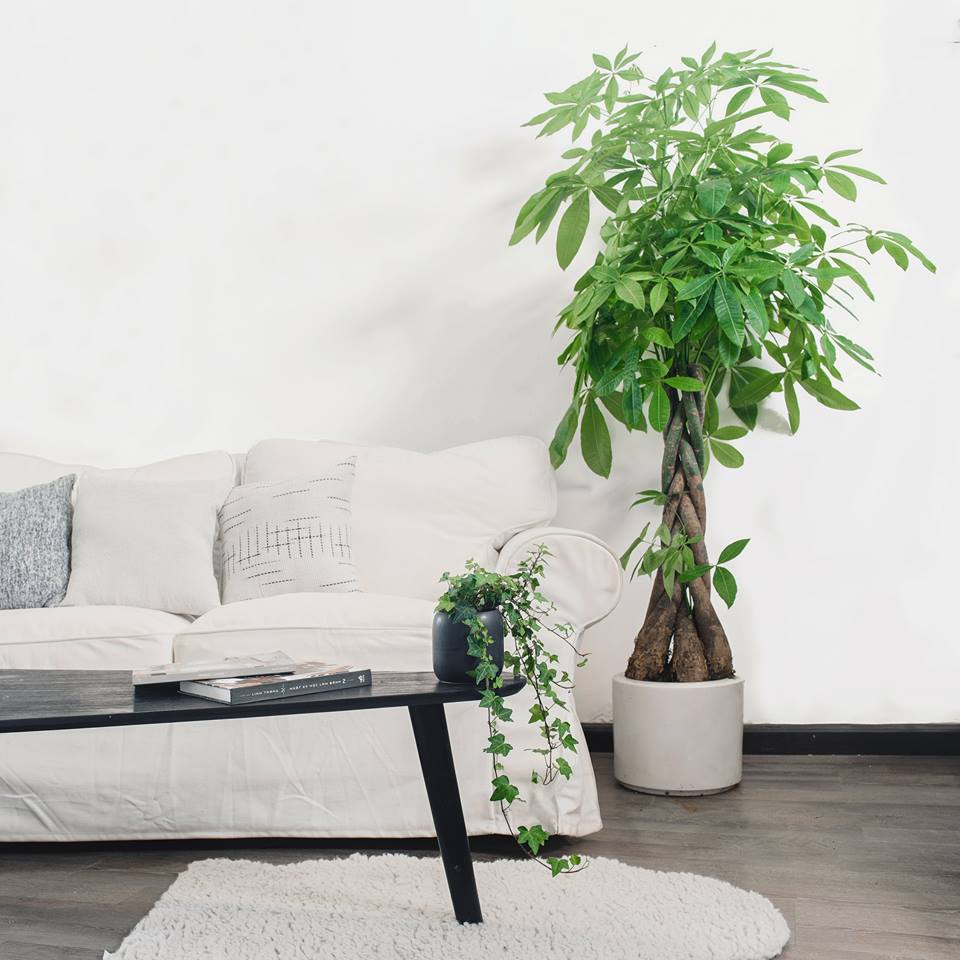 Lựa chọn cây cảnh mang ý nghĩa tài lộc đặt trong phòng khách