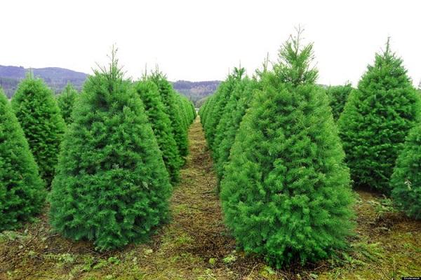 Đừng chủ quan với cây thông Noel vì có thể gây nhiều vấn đề về sức khỏe